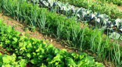 Gardening - vegetable plots